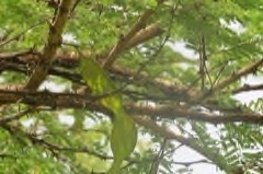 Senegalia Senegal Gum Arabic Pfaf Plant Database