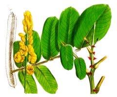 Senna alata Ringworm Bush, Candle Bush, Empress Candle Plant