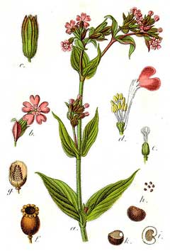 Silene dioica Red Campion, Red catchfly