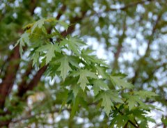 Acer saccharinum Silver Maple, River Maple, Soft Maple