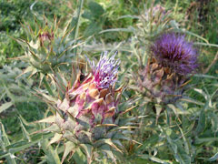 Silybum marianum Milk Thistle, Blessed milkthistle