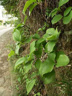 Smilax china China Root
