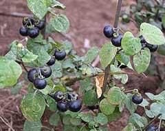 Nice Solanum Scabrum Garden Huckleberry