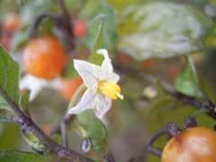 Solanum triflorum - Cut-leaf nightshade