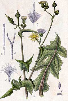 Sonchus asper Prickly Sow Thistle, Spiny sowthistle