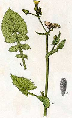 Sonchus oleraceus Sow Thistle, Common sowthistle