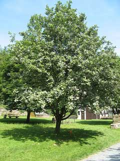 Sorbus aria Whitebeam, Chess-apple