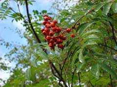 Sorbus aucuparia Mountain Ash, European mountain ash