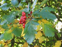 Sorbus hybrida Swedish Service Tree, Oakleaf mountain ash