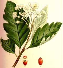 Sorbus intermedia Swedish Whitebeam