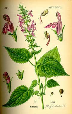 Toxicodendron vernicifluum  tree  Britannicacom