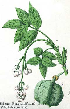 staphylea pinnata Bladder Nut