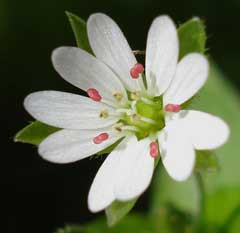 Stellaria neglecta Greater Chickweed, Common chickweed