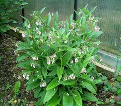 symphytum officinale comfrey common comfrey pfaf plant database. Black Bedroom Furniture Sets. Home Design Ideas