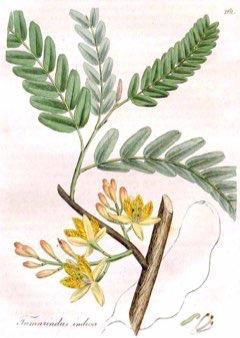 Tama tamarind pfaf plant database httpbotanicimage mightylinksfo