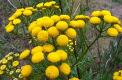 Tanacetum vulgare Tansy, Common tansy, Golden Buttons, Curly Leaf Tansy