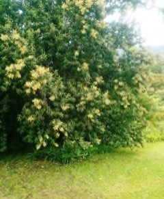 Tarchonanthus camphoratus Camphor Bush, Wild Camphor Bush