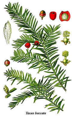 Taxus baccata Yew, English yew,  Common Yew