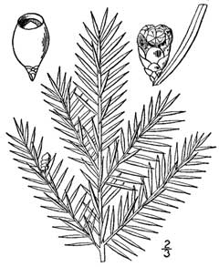 Taxus canadensis Canadian Yew