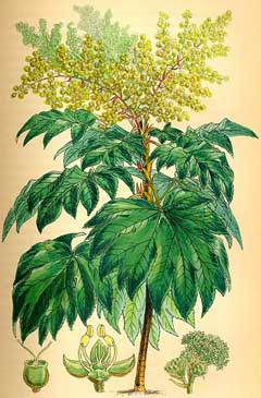 Tetrapanax papyrifer Rice Paper Plant, Chinese Rice Paper Plant