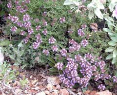 Thymus camphoratus Camphor Thyme