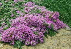 Thymus praecox Mother of thyme, Creeping thyme, Woolly Thyme