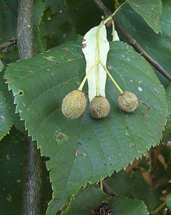 Tilia x europaea Common Lime