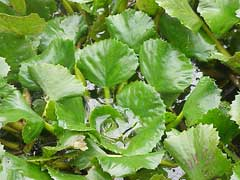 Trapa natans Water Chestnut