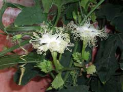 Trichosanthes kirilowii Chinese Cucumber