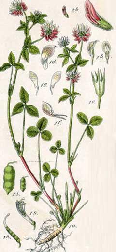 Trifolium hybridum | Granite Seed and Erosion Control