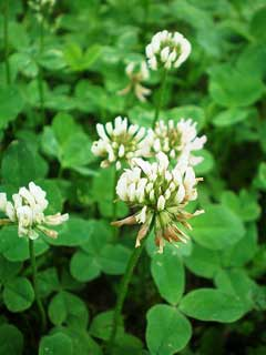 Trifolium repens White Clover, Dutch Clover, Purple Dutch Clover, Shamrock,  White Clover
