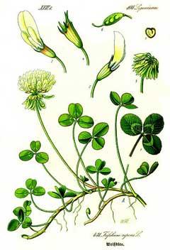 Trifolium repens White Clover, Dutch Clover, Purple Dutch Clover ...