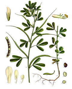 Trigonella foenum-graecum Fenugreek, Sicklefruit fenugreek