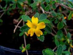 Turnera diffusa aphrodisiaca Damiana PFAF Plant Database