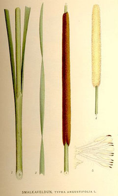 Typha angustifolia Small Reed Mace, Narrowleaf cattail
