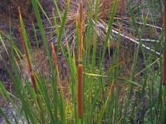 Typha domingensis Southern Cattail