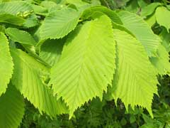 Ulmus glabra Wych Elm,  Table-top Scotch Elm, Scotch  Elm