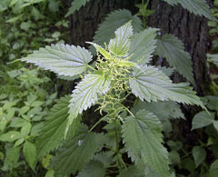 Urtica dioica Stinging Nettle, California nettle