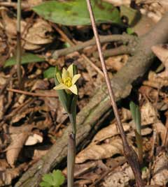 Uvularia sessilifolia Bellwort, Sessileleaf bellwort