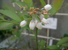 Vaccinium ashei Rabbiteye Blueberry
