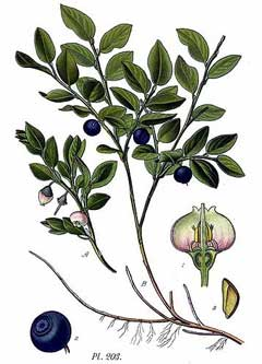 Vaccinium myrtillus Bilberry, Whortleberry