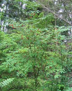 Vaccinium parvifolium Red Bilberry, Red huckleberry