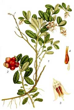 Vaccinium vitis-idaea Cowberry, Lingonberry,  Northern mountain cranberry, Cranberry