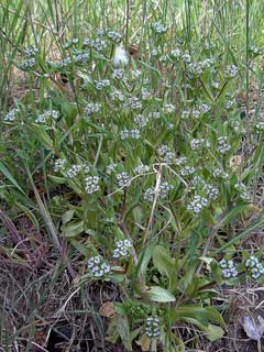 Valerianella Keeled-Fruited Cornsalad, European cornsalad
