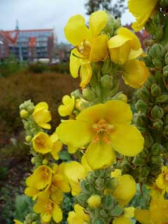 Verbascum_thapsus Great Mullein, Common mullein, Aaron