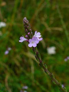 Verbena officinalis Vervain, Herb of the cross, Prostrate verbena