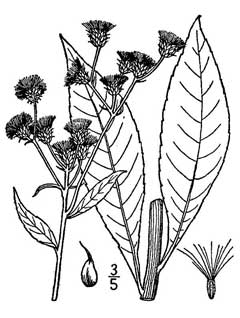 Vernonia glauca Ironweed, Broadleaf ironweed