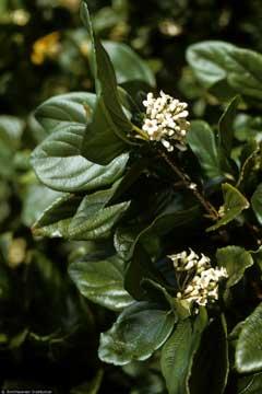 Viburnum Suspensum Viburnum Sandankwa Viburnum Pfaf Plant