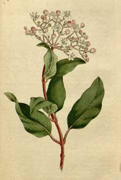 viburnum tinus laurustinus laurestinus viburnum