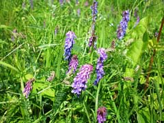 Vicia cracca Tufted Vetch, Bird vetch, Cow vetch